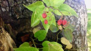 Raspberries growing in a tree
