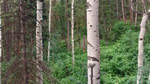 Pine Trees forest Utah